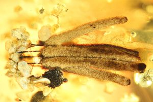 Scientists find astounding slime mold trapped in amber for 100 million years