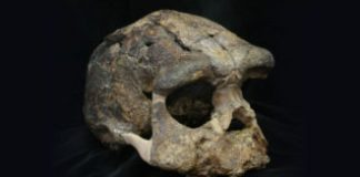 Homo erectus arrived in Indonesia 300,000 years later than previously thought