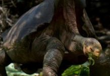 Diego the sex machine tortoise retires from the playboy life