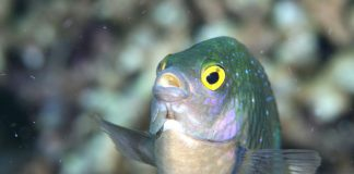 Replication study challenges work on fish and ocean acidification