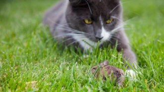 A parasite that makes mice unafraid of cats may quash other fears too