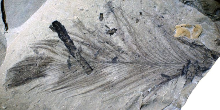 Forgotten trove of fossil feathers belonged to tiny polar dinosaurs