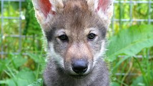 Scientists surprised by wolf puppies playing fetch
