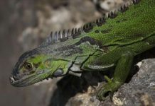 Iguanas might fall out of trees due to cold temperatures in Florida