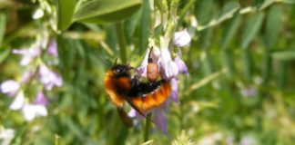 Collectors find plenty of bees but far fewer species than in the 1950s