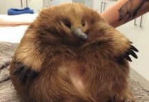 This extra large Tasmanian echidna from Australia is stealing hearts