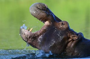 Pablo Escobar's hippos have become an invasive species in Colombia