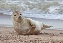 Gray seals clap underwater to communicate, study finds