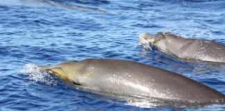 Beaked whales may evade killer whales by silently diving in sync