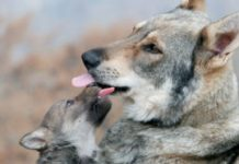 Wolves regurgitate blueberries for their pups to eat