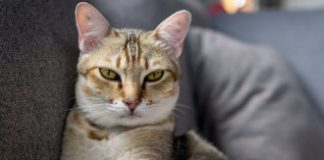 With a litter of tactics, scientists work to tame cat allergies