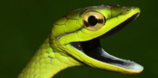 Snakes suffered after a frog-killing fungus wiped out their food