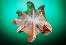 Scientist wants to know how octopuses go house hunting