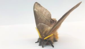 Deaf moths hide from hungry bats through acoustic camouflage