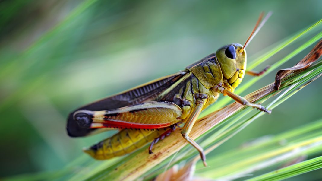 Why Taller Grass Can Be Bad News For Grasshoppers