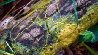 How slime mold helped scientists map out the cosmic web