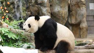 Giant pandas in Hong Kong zoo finally mate after nine years of trying