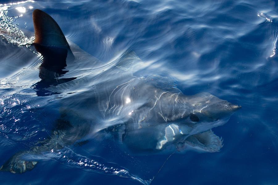 How Shark Skin Can Help Human Medicine