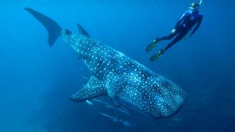 Cold War nuclear test residue offers a clue to whale sharks' ages