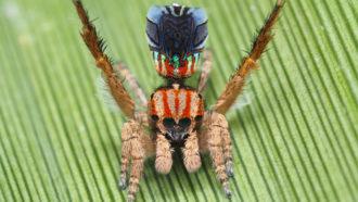 Dancing peacock spiders turned an arachnophobe into an arachnologist