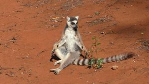 Scientists sniff out sexy secrets of lemur 'stink flirting' perfume