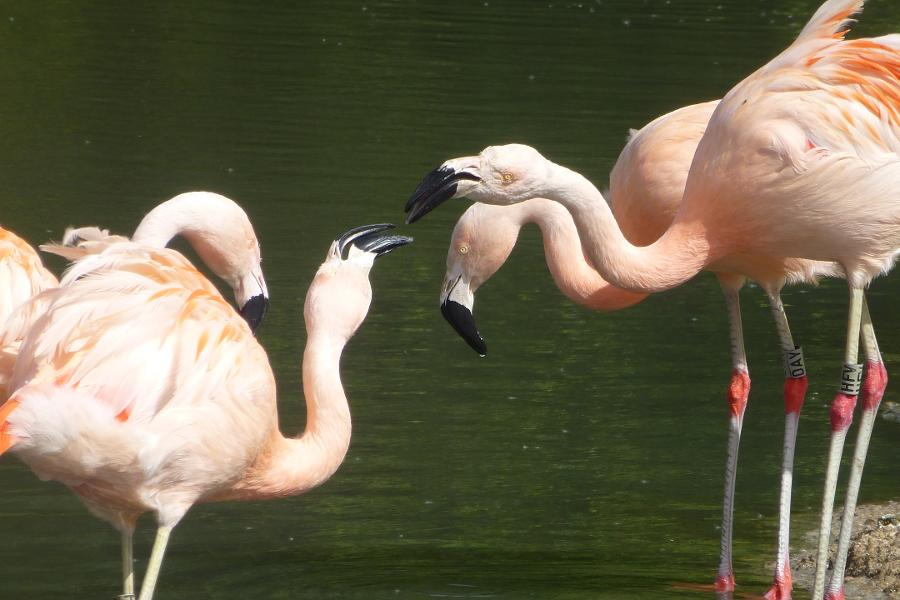 Research Suggests Flamingos Form Long-Term Friendships
