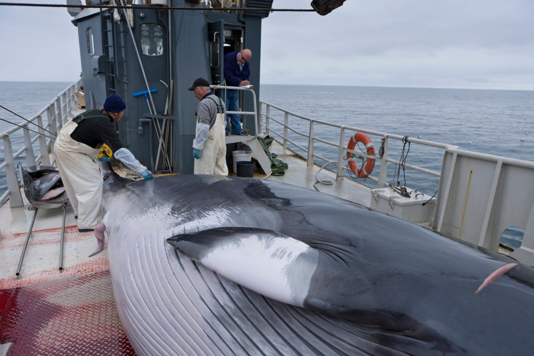 Iceland's Hunt For Minke Whales Has Officially Ended