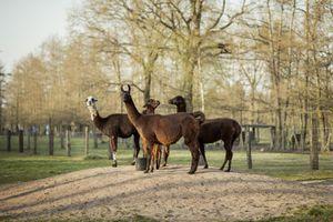 Llama antibodies might bring us closer to neutralizing COVID-19