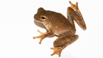 Pug-nosed tree frogs use an auditory trick to evade predators and woo mates