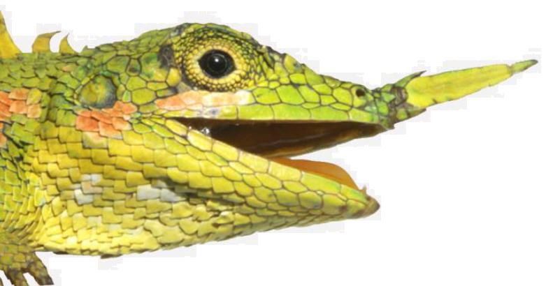 Scientists Just Rediscovered A Long-Lost Dragon Lizard