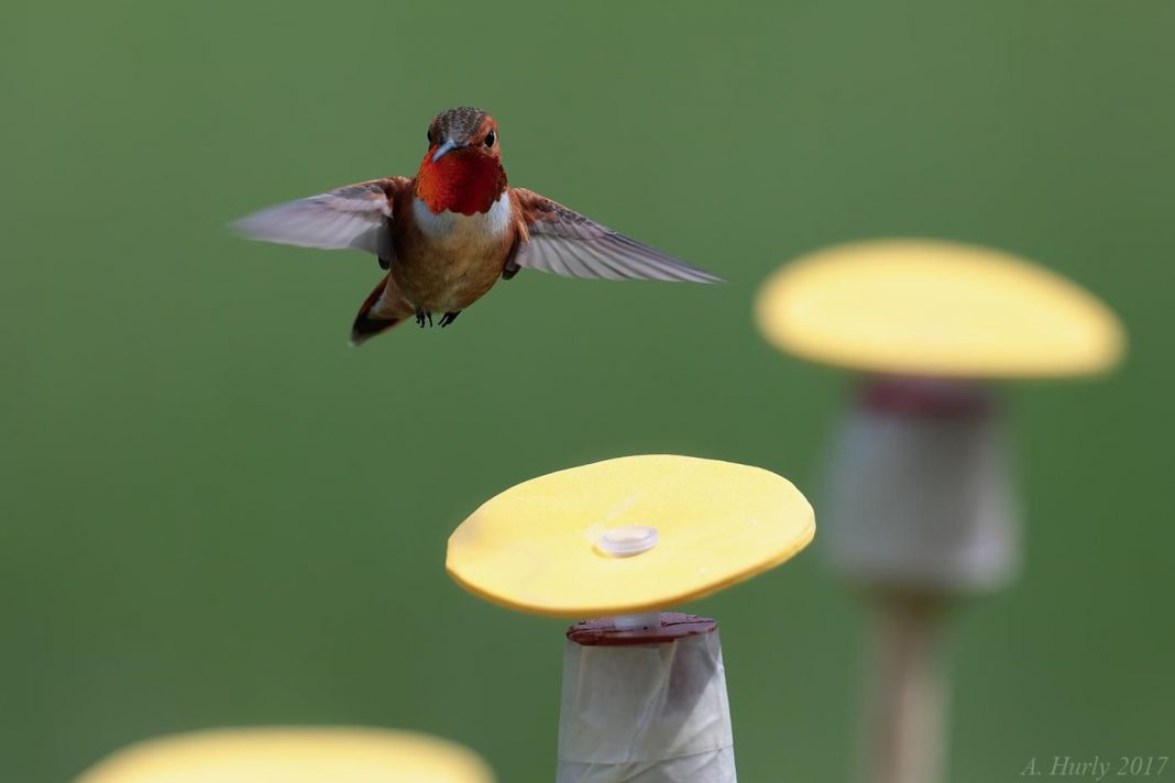 Not Bird Brains: Research Suggests Hummingbirds Use Numbers To Find Flowers