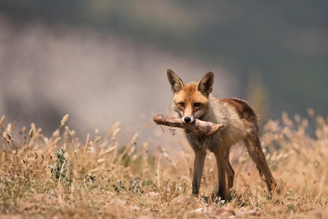 Foxes Have Been Stealing Our Leftover Food For 42,000 Years