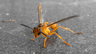 A wasp was caught on camera attacking and killing a baby bird