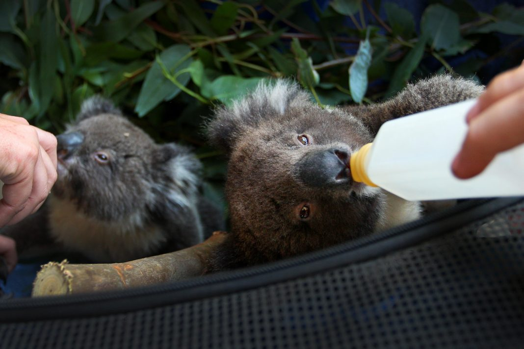 Report: Nearly 3 Billion Animals Killed Or Displaced In Australia Fires