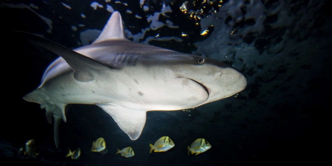 A Shark Died From Streptococcus. Does That Mean Sharks Get Strep Throat? Not Quite.