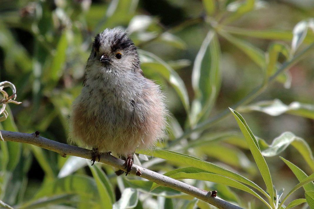 Now We Know How These Cute Little Birds Avoid Each Other