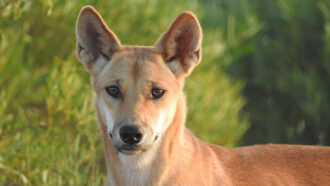 Culling dingoes with poison may be making them bigger