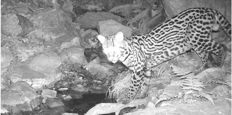 Conservationists Are Solving A Big Cat Mystery In A Big City In Ecuador