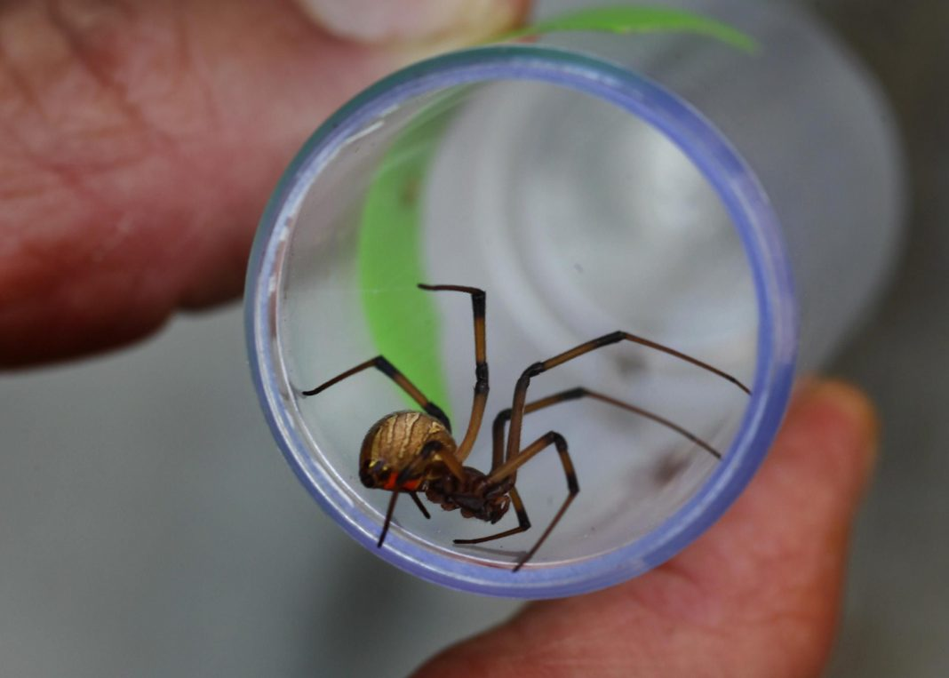Do Male Brown Widow Spiders Prefer A Little Death With Their Sex?