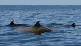 A beaked whale's nearly four-hour-long dive sets a new record