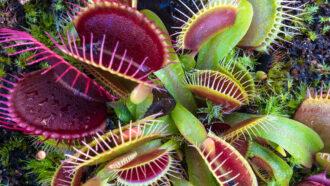 How Venus flytraps store short-term 'memories' of prey