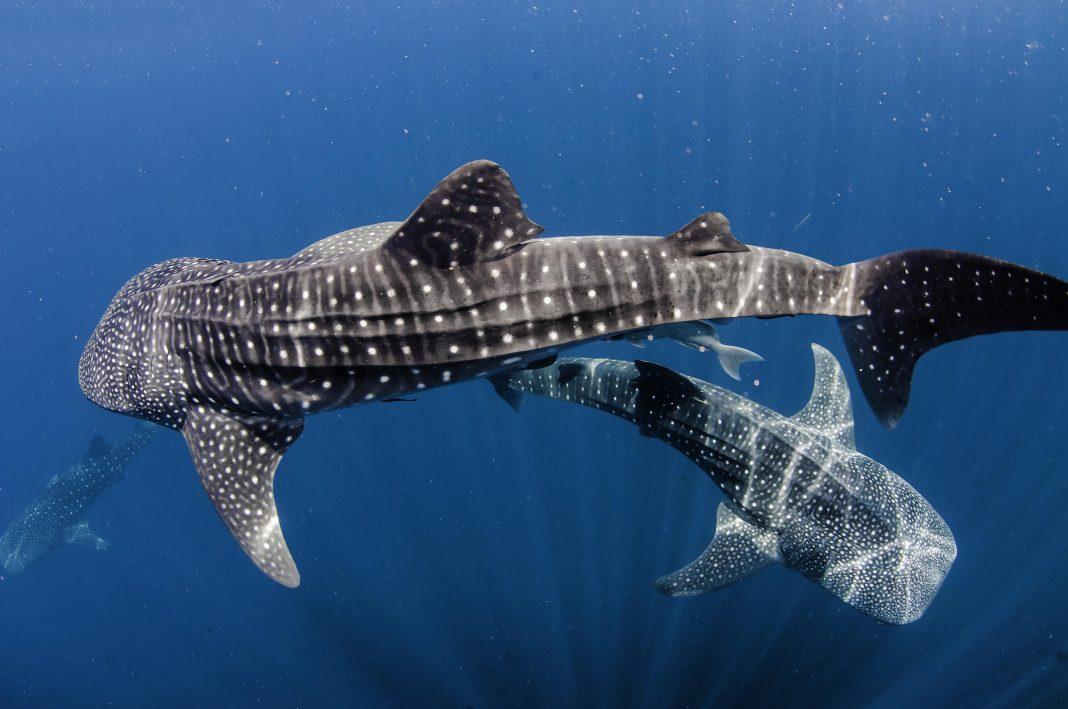 The Biggest Fish Are Female