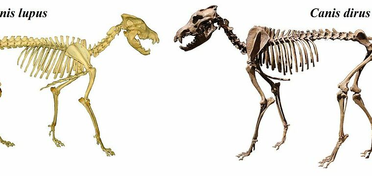 Dire wolves aren't wolves at all—they form a distinct lineage with jackals