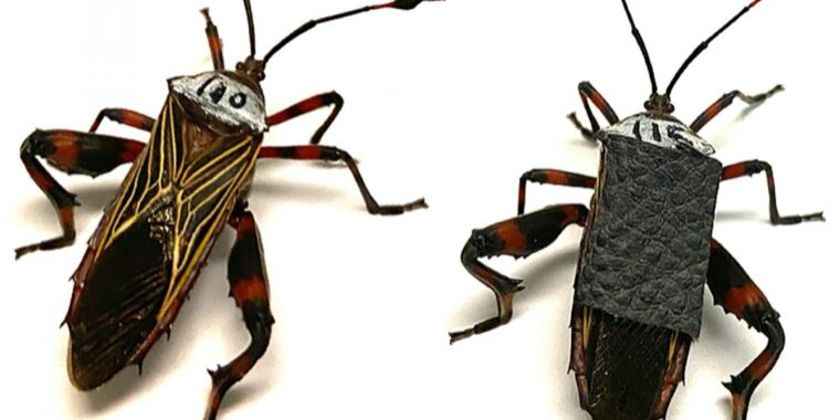 Caged heat: Mesquite bugs battle in a plastic cup—for science!