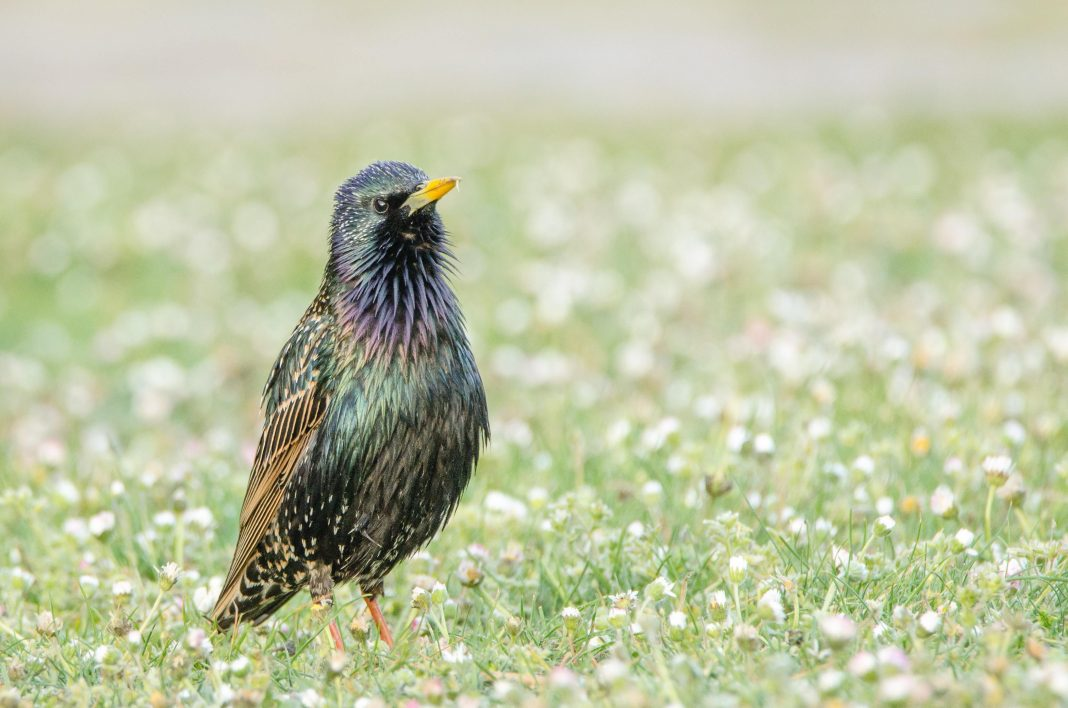 European Starlings' Global Success Reveals Evolution Doesn't Always Take Millions Of Years