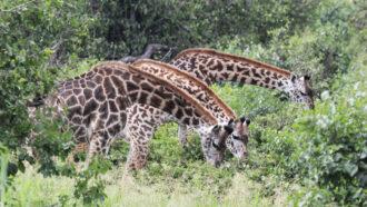 Having more friends may help female giraffes live longer