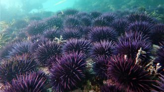 How kelp forests off California are responding to an urchin takeover