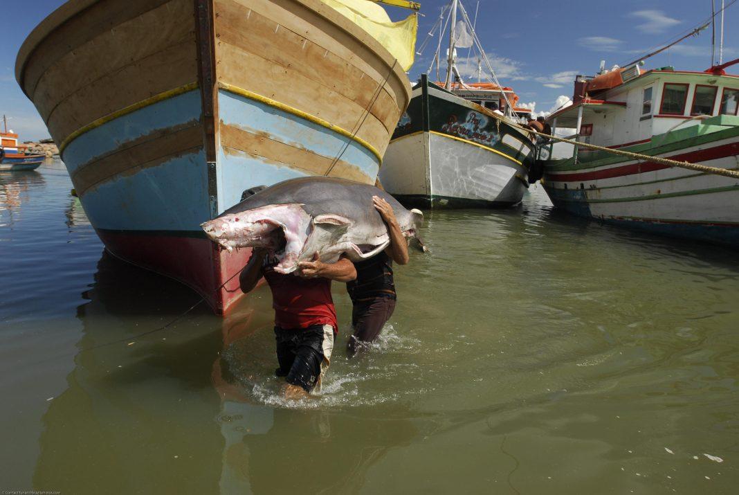 Uncovering Endangered Sharks In Brazil