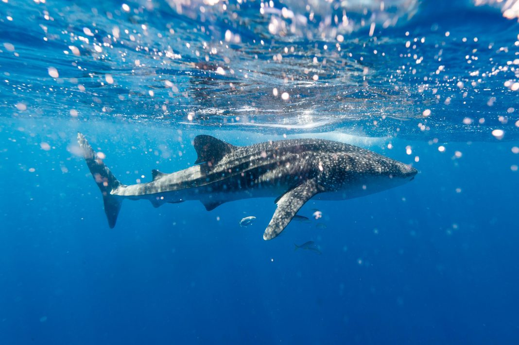 How Our Actions Are Impacting Whale Sharks