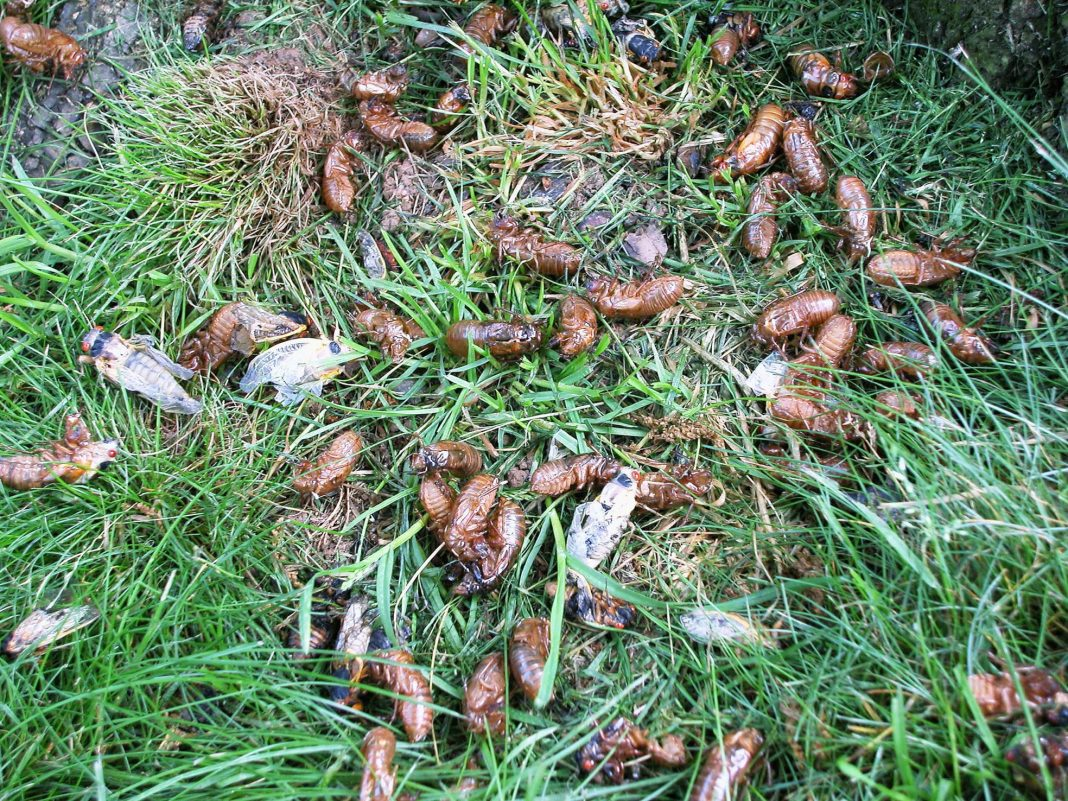 Can You Compost Cicadas? – The Answer And A Climate Lesson Too